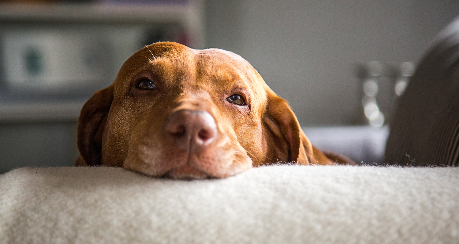 effects of steroids in dogs