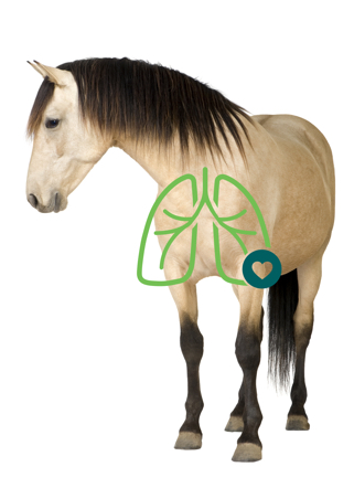 Horse with lung illustration