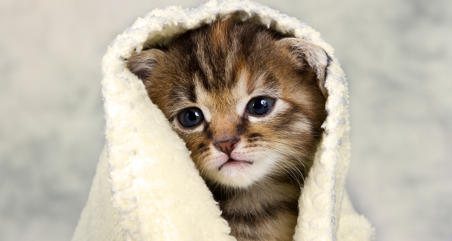 Small brown and grey kitten with a washcloth covering its head.