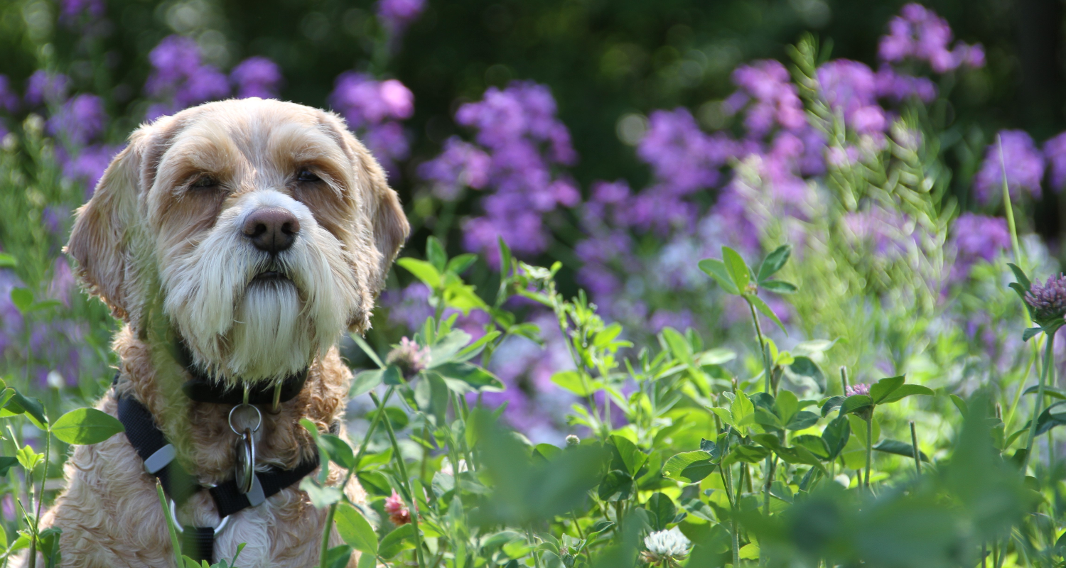 A dog sitting outdoors surrounded by long grass and purple flowers.